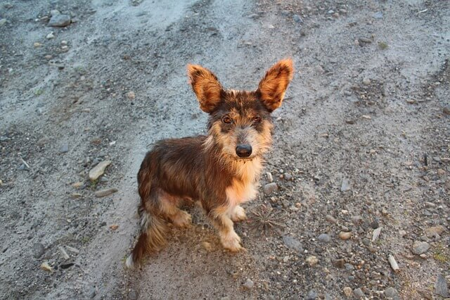 Importing Rescue Dogs Into Canada