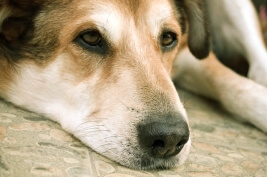 Inappetence in Dogs