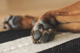 Common Paw Problems in Dogs