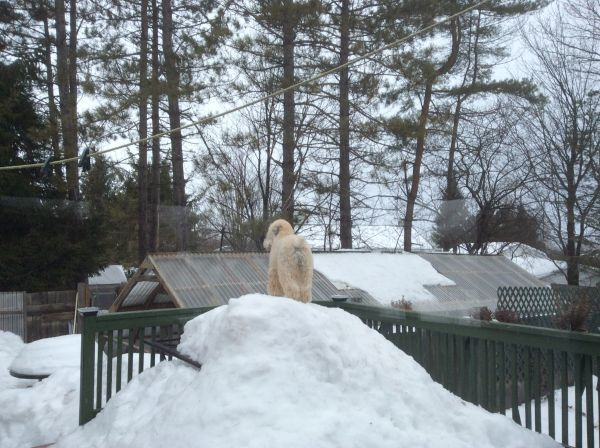 'Here is Fiona, 4yr old SCWT, at her post keeping a watchful eye on things!' - Monique, Hawkesbury, Ontario