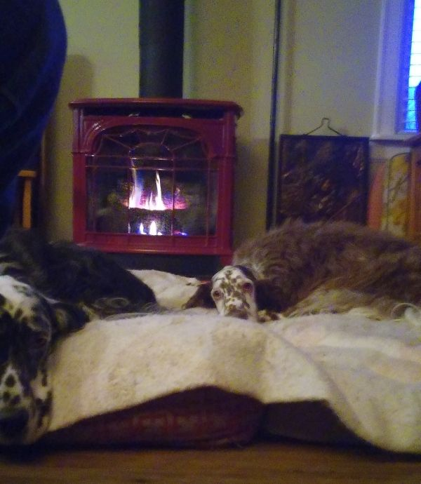'Here is a photo of our 2 rescued English Setters enjoying the warmth of the fire in their new home. Charlotte (the liver coloured dog), had never been in a house & Ziggy (the blue) spent 3 years isolated in a cage because the owner didn't like him! They are both epileptic and Ziggy suffers from separation anxiety which is getting better! We love them and the rewards of adopting special needs animals gives my husband and I a great deal of satisfaction just knowing they have a life so different than what they had!' - Jennifer