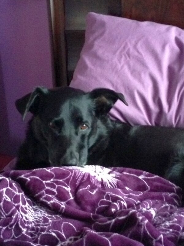 'Go away, I am trying to sleep... (my Sasha, a lab border collie)' - Sue M.