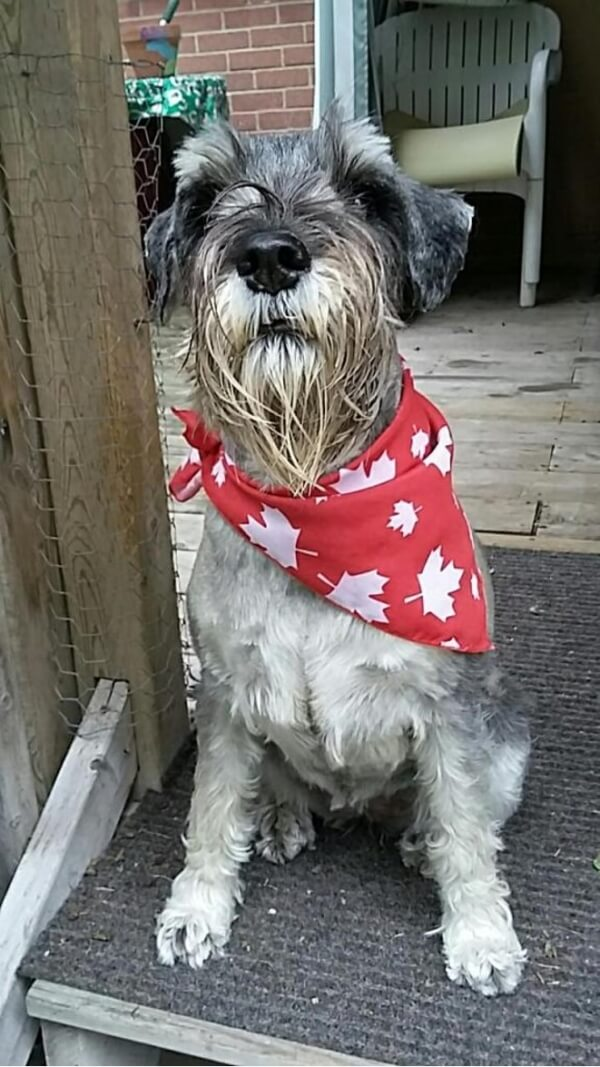 'This is my bearded lady, Rosie, my 7 year old standard schnauzer. She was celebrating Canada Day!' - Shirley C.