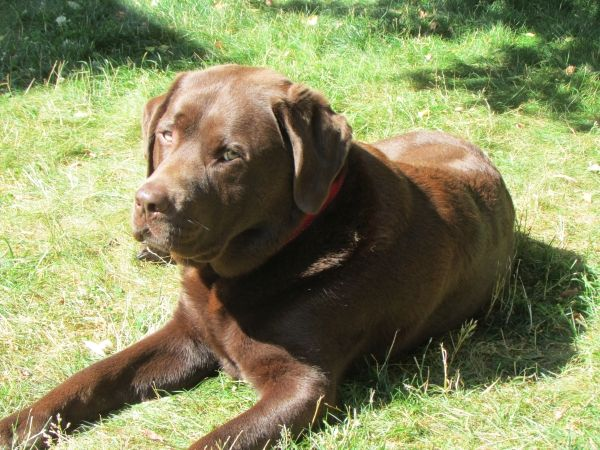'Here is Cedar (4 year old chocolate lab) enjoying the beautiful sunshine!' - Mary from Gibsons, BC